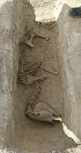 Esqueleto de Burro recuperado en una excavación en Ibiza